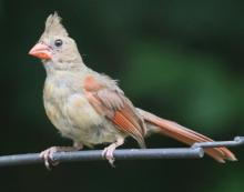 A northern cardinal in Framingham, photographed by Steve Forman.