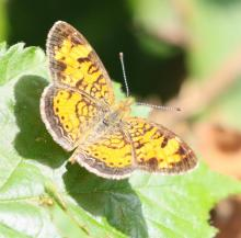 A pearl crescent at Breakneck Hill Conservation Land in Southborough, photographed by Steve Forman.