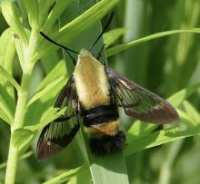 A snowberry clearwing moth in Concord, photographed by Lyell Slade.