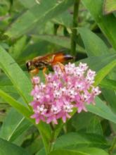 A great golden digger wasp in Northborough, photographed by Marnie Frankian.
