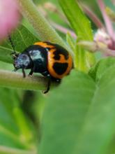 A milkweed leaf beetle in Northborough, photographed by Marnie Frankian.
