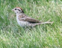 A chipping sparrow at Breakneck Hill Conservation Land in Southborough, photographed by Steve Forman.