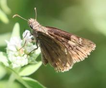 A duskywing at Breakneck Hill Conservation Land in Southborough, photographed by Steve Forman.