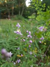 Meadow rue blossoms in Northborough, photographed by Joan Chasan.