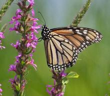 A monarch butterfly in Wayland, photographed by Joan Chasan.