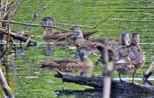 Wood ducks in Wayland, photographed by Joan Chasan.