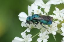 A cuckoo wasp in Concord, photographed by Lyell Slade.