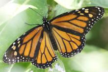 A monarch butterfly at Breakneck Hill Conservation Land in Southborough, photographed by Steve Forman.