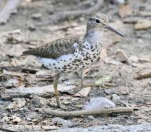 A spotted sandpiper at Hager Pond in Marlborough, photographed by Steve Forman.