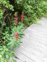 Cardinal flowers at SVT's Wolbach Farm in Sudbury, photographed by Jim Shelhamer.