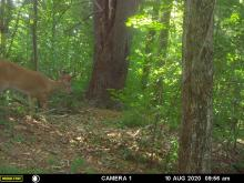 A white-tailed deer buck in Maynard, photographed with an automatically triggered wildlife camera by Gail Sartori.