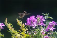 A ruby-throated hummingbird in Bolton, photographed by Jon Turner.