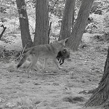 A coyote with a raccoon in Natick, photographed with an automatically triggered wildlife camera by Chuck Hill.