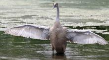 A mute swan at Hager Pond in Marlborough, photographed by Steve Forman.