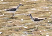Solitary sandpipers at Hager Pond in Marlborough, photographed by Steve Forman.