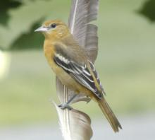 A Baltimore oriole in Sudbury, photographed by Sharon Tentarelli.