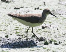 A solitary sandpiper at Grist Mill Pond in Sudbury, photographed by Steve Forman.