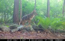 A coyote in Framingham, photographed with an automatically triggered wildlife camera by Margaret McKane.
