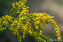 Goldenrod at Acton Arboretum, photographed by Nancy Wright.