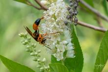 A great golden digger wasp at Acton Arboretum, photographed by Nancy Wright.