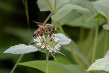 A honey bee at Acton Arboretum, photographed by Nancy Wright.