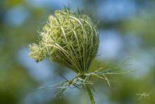 Queen Anne's lace at Acton Arboretum, photographed by Nancy Wright.