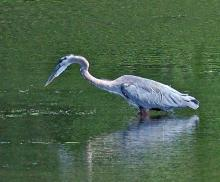 A great blue heron in Wayland, photographed by Joan Chasan.