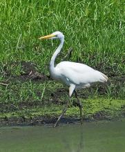 A great egret in Wayland, photographed by Joan Chasan.