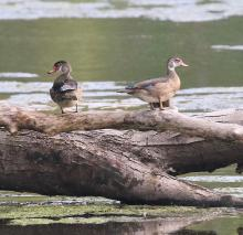 Wood ducks at Hager Pond in Marlborough, photographed by Steve Forman.