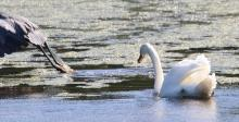 A great blue heron being chased away by a mute swan at Hager Pond in Marlborough, photographed by Steve Forman.