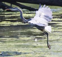 A great blue heron at Hager Pond in Marlborough, photographed by Steve Forman.