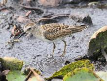 A least sandpiper at Farm Pond in Framingham, photographed by Steve Forman.