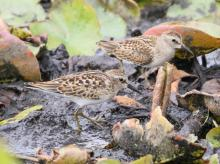 Least sandpipers at Farm Pond in Framingham, photographed by Steve Forman.