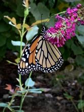 A monarch butterfly in Maynard, photographed by Rose Kentwood.