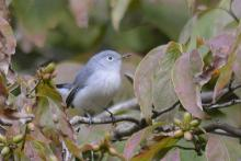 A blue-gray gnatcatcher in Natick, photographed by Greg Dysart.