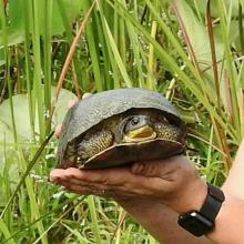A Blanding's turtle in Concord, photographed by Chuck Hill.