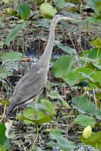 A great blue heron in Concord, photographed by Chuck Hill.