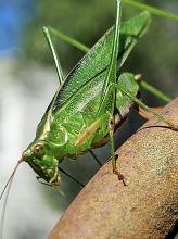 A katydid in Framingham, photographed by Kathy Spellman.