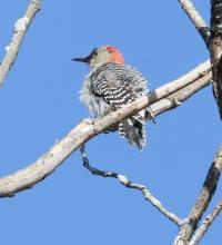 A red-bellied woodpecker at Breakneck Hill Conservation Land in Southborough, photographed by Steve Forman.