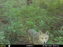 A coyote in Maynard, photographed with an automatically triggered wildlife camera by Gail Sartori.