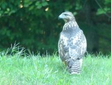 A red-tailed hawk in Lincoln, photographed by Harold McAleer.