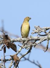 An American goldfinch at Breakneck Hill Conservation Land in Southborough, photographed by Steve Forman.