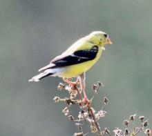 An American goldfinch at Grist Mill Pond in Sudbury, photographed by Steve Forman.