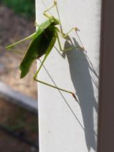 A katydid in Northborough, photographed by Marnie Frankian.