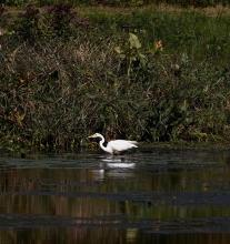 A great egret along the Boroughs Loop Trail in Southborough, photographed by Victoria Holland.