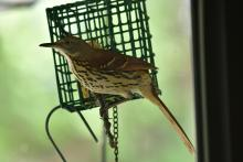 A brown thrasher in Maynard, photographed by Gail Sartori.