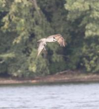 An osprey at Farm Pond in Framingham, photographed by Steve Forman.