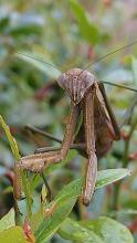 A praying mantis in Framingham, photographed by Kathy Spellman.