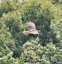 A red-tailed hawk at Farm Pond in Framingham, photographed by Steve Forman.