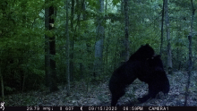 Two American black bears in Harvard, photographed using an automatically triggered wildlife camera by Steve Cumming.